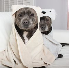 These Staffordshire Bull Terriers Are Best Friends & It's The Sweetest Thing Ever