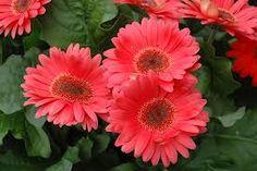 Coral gerber daisy