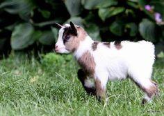 Nigerian Dwarf Goat. Smallest dairy animal.