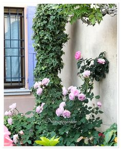 Rose, garden, Wall, flowers, countrychic, romantic,ivy