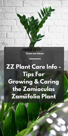 garden care vegetable ZZ Plant Care Info - Tips For Growing amp; Caring the Zamioculas zamiifolia Plant Zz Plant Care, House Plant Care, Gardening For Beginners, Gardening Tips, Kitchen Gardening, Container Gardening, Indoor Gardening Supplies, House Plants Decor, Bathroom Plants