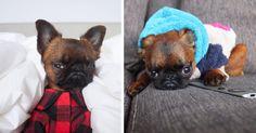 15 photos de Gizmo, le chien grincheux qui va embellir votre journée Gizmo est le petit brabançon le plus connu de la Toile grâce à ses 90 000 abonnés sur son compte Instagram… comme quoi être grincheux ça paye de temps en temps !