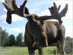 Wer Schweden nicht ohne eine Elch-Sichtung verlassen möchte, fährt in einen Naturpark