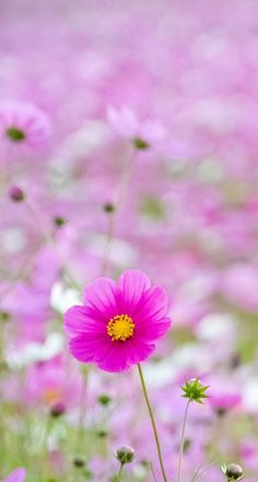 Beautiful Flowers Wallpapers, Most Beautiful Flowers, Pretty Flowers, Pink Flowers, Flowery Wallpaper, Flower Phone Wallpaper, Cosmos Flowers, Flowers Nature, Paradise Pictures