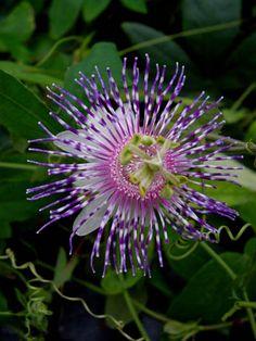 Passion Flower 'Blue Desire' Passiflora