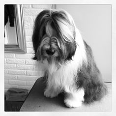My bearded collie Odie <3