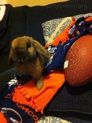 """Posted on February 7, 2016Happy Bunday! Thanks, Courtney, Ryan, and bunny Houdini! Courtney writes, """"Houdini is a three year old lop and, like her hoomins, she loves the Denver Broncos. She may be …"""