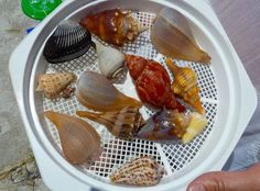 Top ten seashells - Sanibel/Captiva