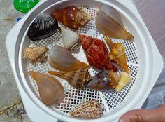 Top ten seashells - Sanibel/Captiva