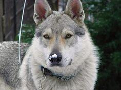 Czechoslovakian wolfdog Ares