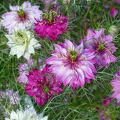 Love in a Mist flowers