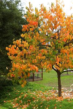 Persimmon Tree - shown in it's fall glory, a small tree to bring height to the front of this planting bed