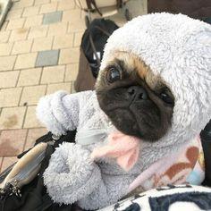 Too cold! #pug