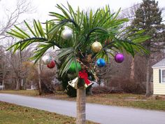 My Palm Tree decorated for the holidays on West Island, Fairhaven, MA