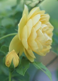 a pure, soft yellow rose is gorgeous