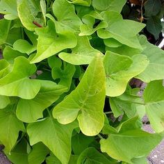 grow care for sweet potato vines
