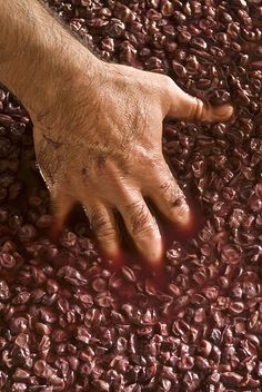 Healthy grapes and manual work are necessary to produce fine wines. Fine Wine, Animal Print Rug, Wines, Manual, Healthy, Home Decor, Decoration Home, Textbook, Room Decor