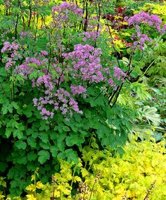Thalictrum Black Stockings  ---  Meadow rues need a cold winter to bloom well, but this one seems more tolerant of the South. Columbine-like foliage, blooms in late July on tall black stems. May need staking. Likes a moist, rich soil, grows about 4ft. tall (5-6' in bloom) by 2ft. wide. Really lovely. z. 5-9