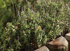 Podemos reproducir fácilmente el tomillo mediante esquejes lo cual nos permitirá cultivar tomillo en abundancia. Aprende cómo hacerlo...