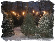 wondering the isles of the christmas tree lot looking for the perfect tree old fashion christmas