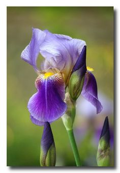 Gorgeous Purple Iris