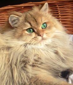 British Longhair B Cat Furry Cute Cats And Kittens Cats