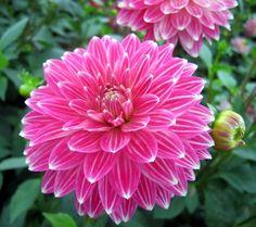 - Dahlia & more - Beautiful Flowers Garden, Rare Flowers, Exotic Flowers, Amazing Flowers, Pretty Flowers, Beautiful Gardens, Pink Flowers, Dahlia Flower, Climbing Roses