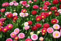 BULK 500 Seeds, English Daisy Mix, Perennial Flower Seeds, Cottage Garden, Attract Butterflies