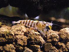 ... Stripe Shrimp - (http://www.eliteinverts.com/babaulti-stripe-shrimp