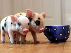 Micro-pigs? and they use litter boxes (like cats)!