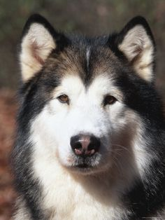 Alaskan Malamute Dog Portrait, Illinois, USA: 16x12 Photographic Print