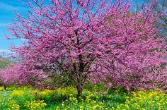 Top 6 Pink and White Spring-Blooming Trees - Birds and Blooms~ Eastern Redbud.already have this one keeping it alive is another thing Spring Blooming Trees, Spring Tree, Spring Blooms, Tree Id, Bird Tree, White Flowering Trees, Eastern Redbud, Tree Images, Garden Landscape Design