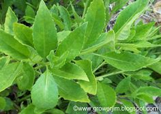 Longevity spinach All about growing bromeliads, gingers and edible plants, and their use in permaculture and sustainable landscapes. Edible Plants, Edible Garden, Medicinal Plants, Tropical Plants, Permaculture, Agriculture, Garden Plants, Farmer, Spinach