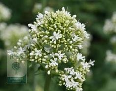 Centranthus ruber 'Albus', valerian. This free-flowering, perennial has slightly fleshy blue-green leaves on upright stems, that are topped with sweetly scented, off white flowers with a pinkish tinge from late spring. Cut back after flowering to encourage a second flush.