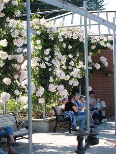 'Sally Holmes' rose arbor at the Portland International Rose Test Garden