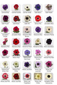 anemone colors