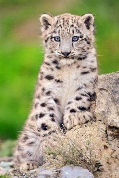 Snow Leopard, one of the most endangered species. There seem to be only about 4,500 – 7,500 snow leopards left in the wild. ;-(