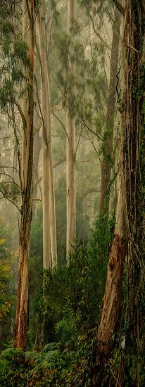 """studioview: """" Guardians In The Mist- Mount Wilson, NSW Australia by Philip Johnson Nature Sauvage, Tree Forest, Blue Mountain, Philip Johnson, Beautiful Landscapes, Mists, Cool Photos, Nature Photography, Scenery"""