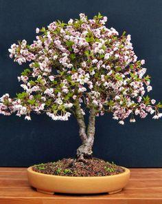 Flowering bonsai Flowering Bonsai Tree, Potted Trees, Trees To Plant, Bonsai Trees, Bonsai Azalea, Garden Art, Garden Design, Flora, Bonsai Art