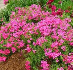 Flox musgoso Landscape, Plants, Pink, Gardens, Soil Type, Flowering Plants, Irrigation, Container Plants, Leaves