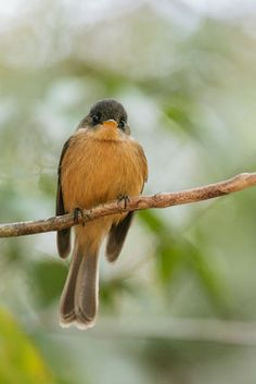 Birdwatching at Anse Chastanet Resort, St. Lucia | St.Lucia Peewee