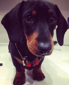 Tatty Devine Dog on Wheels Necklace (modelled by Holly the Sausage Dog). #sausagedog #dachshund #dog #puppy #puppies #pup #pet #necklace #jewelry #jewellery #weinerdog #doxie #daxie