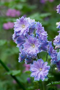 Delphinium by shinichiro*, via Flickr