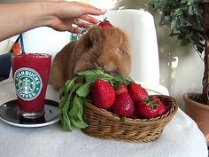 """Pimousse opened a Starbucks franchise under the famous name of STARBUNS for bunnies only (bunny hoomins tolerated)brbrFollow his daily yummy and cute adventures on instagram :brbra href=""""Https://www.instagram.com/pimoussethebunny"""" rel=nofollow target=_blankHttps://www.instagram.com/pimoussethebunny/a"""