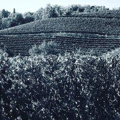 #vigne del #monferrato in preparazione per la #vendemmia. #malvasia #vineyard #monferrato #italy N2R Lifestyle