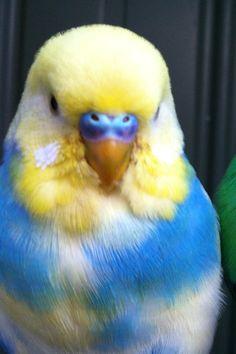 Floral Mesh Dress, Pet Bird Cage, - Birds With Teeth, Are Birds Mammals. Fancy Parakeet, Parakeet Colors, Blue Parakeet, Budgie Parakeet, Budgies, Parrots, Funny Birds, Cute Birds, Pretty Birds