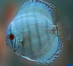 Offering Live Discus fish for sale daily. Discus cichlids are also popular amongst aquarium hobbyists who fancy the most beauty and grace of all of the cich Tropical Freshwater Fish, Freshwater Aquarium Fish, Discus Aquarium, Planted Aquarium, Discus Fish For Sale, Snoopy Images, Beautiful Fish, Bull Terrier, Cobalt Blue