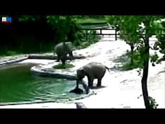 Elephants rescue baby from drowning, two elephants work together to save young calf from drowning, pair of adults elephants hurried to aid and guided it to s. Elephant Love, World, Youtube, Animals, Animales, Animaux, Animal, The World, Animais