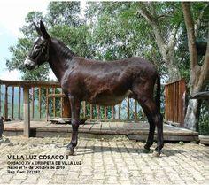 VILLA LUZ COSACO 3. La Segunda Generacion (NIETOS) Lleva el nombre del Criadero y del abuelo.       Cortesía: CRIADERO VILLA LUZ, Girardota, Antioquia (Colombia).