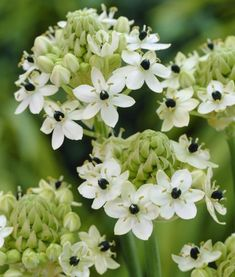 Ornithogalum flowers are available for Brides in Scotland in February. Contact the Stockbridge Flower Company for more details.